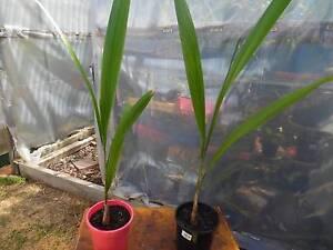 cocos palm tree Edithvale Kingston Area Preview
