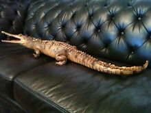 TAXIDERMY CROCODILE 36 INCHES LONG Trevallyn West Tamar Preview