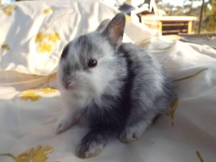 Rare and/or small breed baby rabbits-order now-Negotiable Price Bendigo 3550 Bendigo City Preview
