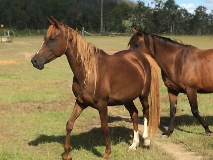 Part arab mare Toogoolawah Somerset Area Preview