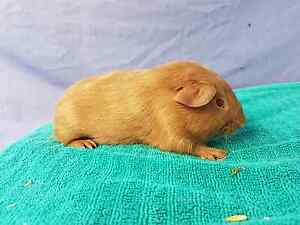 Baby guinea pig, short hair Riverstone Blacktown Area Preview