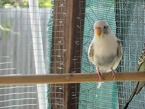 young budgie Inala Brisbane South West Preview