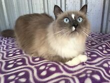 Ragdoll Female Desexed Stockleigh Logan Area Preview