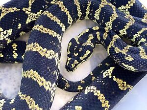 Adult Female Jungle Python & Unsexed hatchling Hope Island Gold Coast North Preview