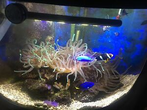 Marine aquarium Anemonae's Willoughby Willoughby Area Preview