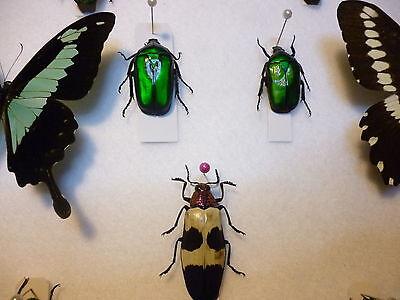 Set specimens in display cabinet