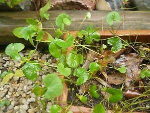 1 bunch Gotu Kola Plants / Edible MEDICINAL Herb plants Taree Greater Taree Area Preview