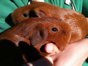 Senior guinea pig looking for new companion Terrey Hills Warringah Area Preview
