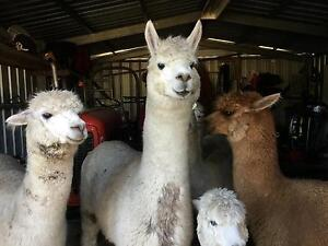 Small Friendly Alpaca herd Great Lakes Area Preview