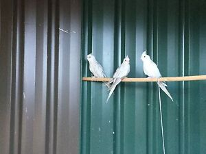 Aviary cockatiels for sale Farrer Woden Valley Preview