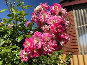 "STANDARD ""BRILLIANT PINK"" ROSES - STOCK CLEARANCE SALE - READ ADVERT"