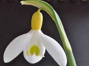 Schneeglöckchen: Galanthus plicatus x nivalis
