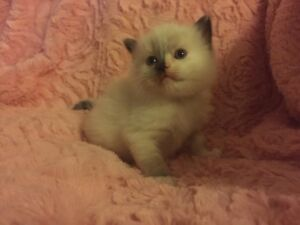 Ragdoll kittens only one male