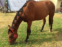 Wanted - horse rider,  experienced Gulgong Mudgee Area Preview