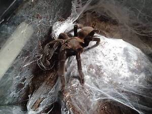 Tarantula (Eastern or Bird Eating Spider) Hawthorne Brisbane South East Preview