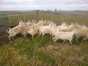 Saanan Goat Wether For Sale Tullamarine Hume Area Preview