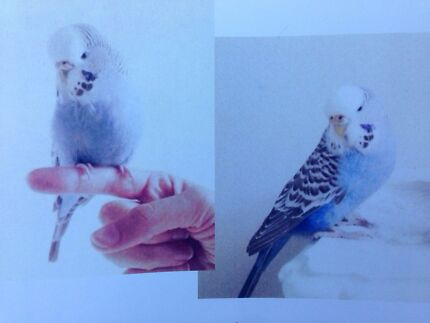 Missing: Pet Budgie Inglewood Stirling Area Preview