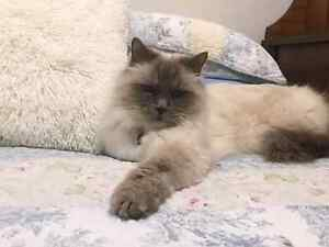 Male Ragdoll Baldivis Rockingham Area Preview