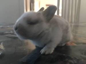 Pure Breed MINI LOPS for sale Lansvale Liverpool Area Preview