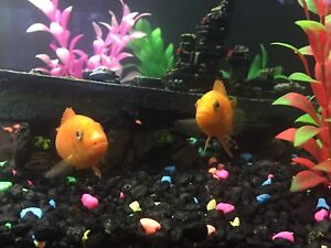 African cichlids in need of new home