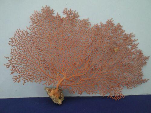 "10"" x 6.7"" Pacifigorgia Natural Red Sea Fan Seashells Reef Coral"