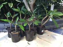 Frangipani plants Adamstown Heights Newcastle Area Preview