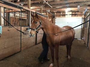 Amazing Gaited trail horse for sale