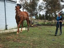 BEAUTIFUL TB GELDING REDUCED Tenterfield Tenterfield Area Preview