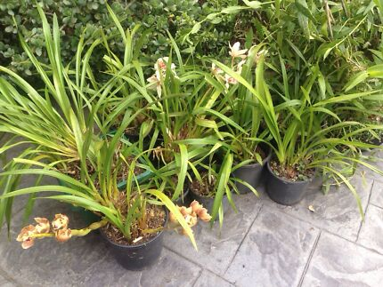 POTTED PLANTS - ORCHIDS VARIOUS COLOURS  Ferntree Gully Knox Area Preview