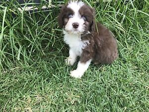 Stunning Bordoodle puppies ready from 27 May Yass Yass Valley Preview