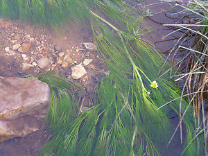 Oxygenating pond plants ebay for Garden pond oxygenating plants