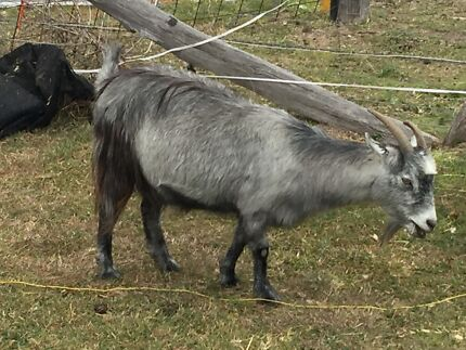 The Rosie and Augustus the miniature goats Tallegalla Ipswich City Preview
