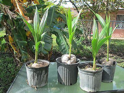 1 Coconut Palm Malayan Green