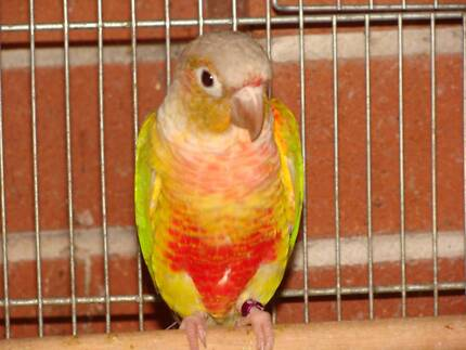 Young Pair of Pineapple Conures Wattle Grove Liverpool Area Preview