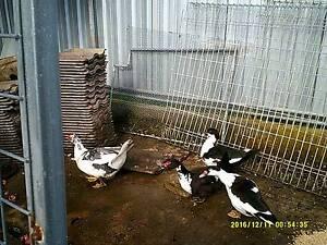 3 ducks and 2 drakes Abermain Cessnock Area Preview