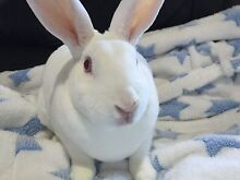 STUNNING RESCUE PURE WHITE REX RABBIT-desexed/litter trained/vacced Georges Hall Bankstown Area Preview