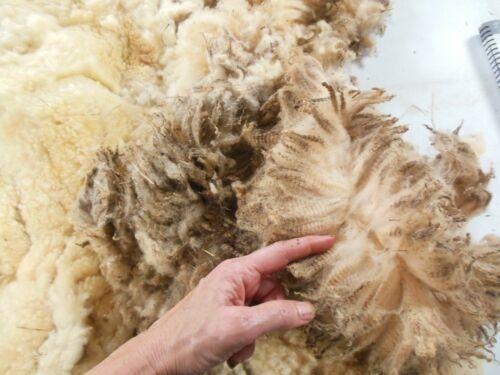 Complete raw wool fleece Creamy white Shetland Ram (extra dirty)