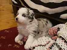 Border collie pup with pappers Geelong Geelong City Preview