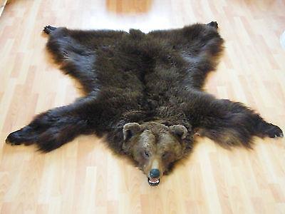 Braunbär Bär CITES Fell Fellvorleger Taxidermy Tierpräparat Rug Hide  Brownbear