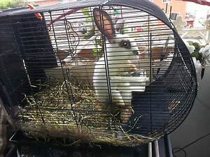 1 year Old Rabbit (White and Brown Colour) Canterbury Canterbury Area Preview