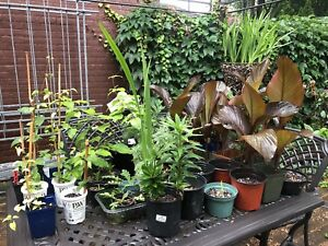 Plant Clearout sale Perennials Clematis Dogwood tree Canna Lily