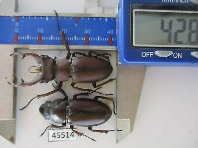 BO07 # lot of 10 pcs beetle lucanidae LUCANUS  formosus Didier Vietnam North.