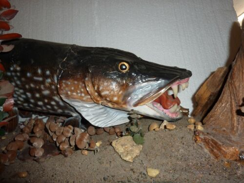 Vintage Unique Freestanding Northern Pike Taxidermy with Bluegill One of a Kind