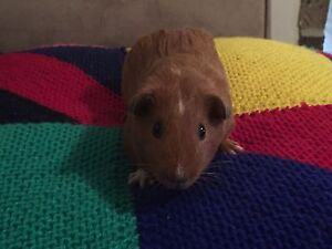 Baby male Guinea pigs Chittaway Bay Wyong Area Preview