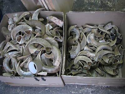 Schafshörner,Schafhorn, Perchten,Widder, Schafhörner, Einzelhörner, ca. 20-35 cm