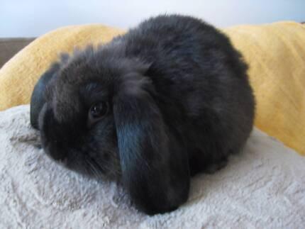 Sweet little baby Mini Lop Female Bunny Rabbit