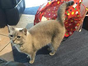 Beautiful Birman/Cross female cat with blue eyes Ashtonfield Maitland Area Preview
