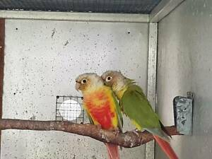 BREEDING PAIR OF PINEAPPLE CONURES