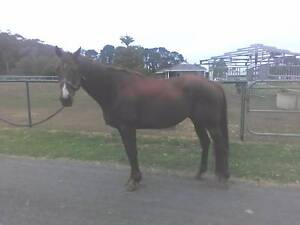 THOROUGHBRED GELDING Punchbowl Canterbury Area Preview