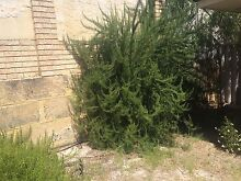 Rosemary for free St James Victoria Park Area Preview